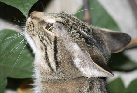 sniffing: Closeup of striped cat sniffing a leaf Stock Photo