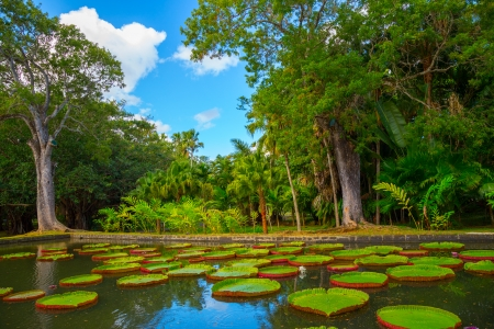 Huge green lily pads Victoria Amazonian in a pond in a tropical park photo