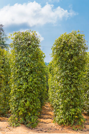 bush pepper: plantation of red and black pepper, Phu Quoc