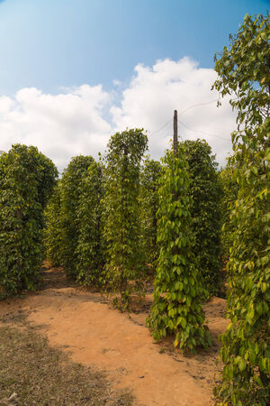 bush pepper: plantation of black and red pepper on the island of Phu Quoc, Vietnam  Stock Photo