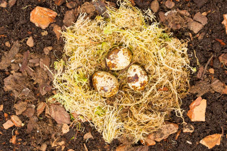 bird's nest of moss and colorful small eggs  photo