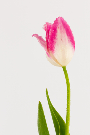 pink tulip with fringed petals on a green stem and white background Stok Fotoğraf