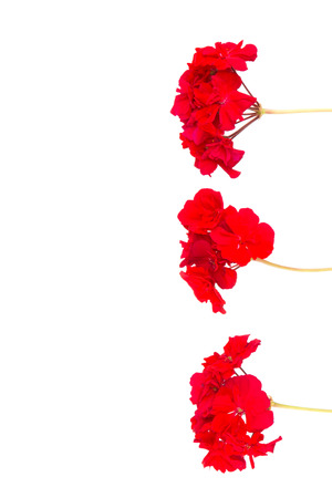 three red geranium flower on stems and white vertical background  photo