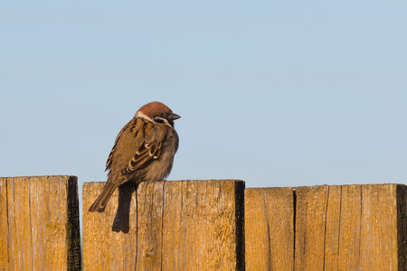 cute sparrow on old painted wooden fence  photo