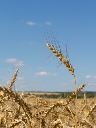 spike in golden yellow wheat field and blue sky with white clouds photo