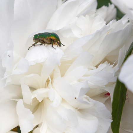 opalescent: shiny green beetle on a white flower peony
