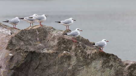 red beak: gulls with red legs and red beak sitting on a brown stone