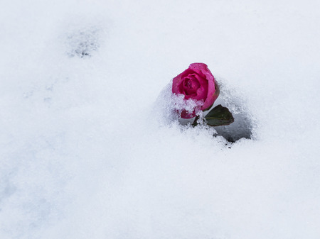 purple rose: beautiful purple rose in the white snow melting