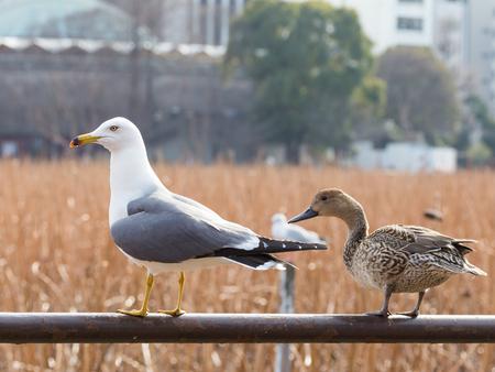 vogelspuren: sch�ne gro�e M�we und s��e Ente nach links schauend Lizenzfreie Bilder