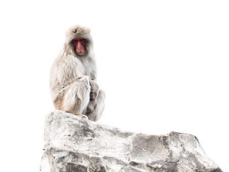 symbols  metaphors: Funny Japanese monkey with a red face and expressive calm, intelligent eyes