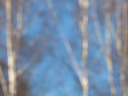 lyrical: blurred sky blue abstraction from the trunks bare white birches in early spring