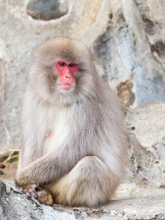 rock wool: Japanese macaque with a nice fluffy wool with red and calm face sitting at the rock, Japan Stock Photo
