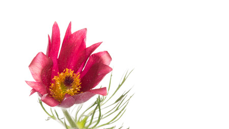 lumbago: spring delicate purple red flower with fluffy ordinary lumbago myaggkim stem and green leaves on a white background