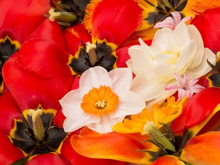 the stamens: Red tulips with black center and stamens, pistils and yellow beautiful bright daffodils, a view of the spring bouquet