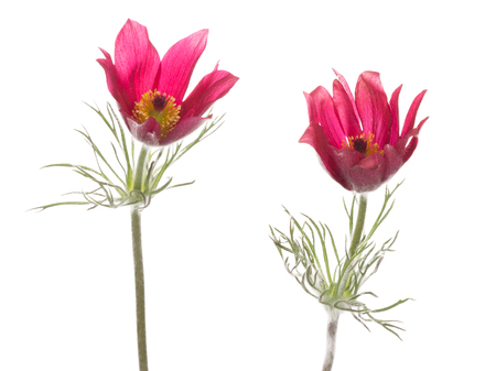 pulsatilla: two bright beautiful delicate magenta pink flowers pulsatilla vulgaris with fluffy stems and green leaves on a white background Stock Photo