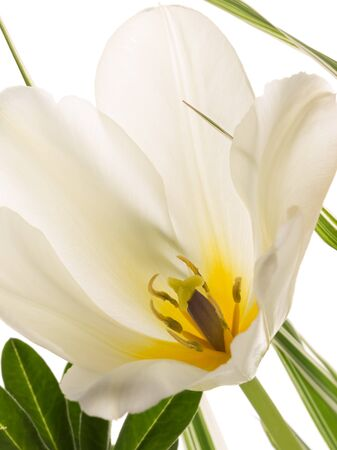beautiful delicate white tulip with a yellow center and gray pestle and stamens on a white background photo