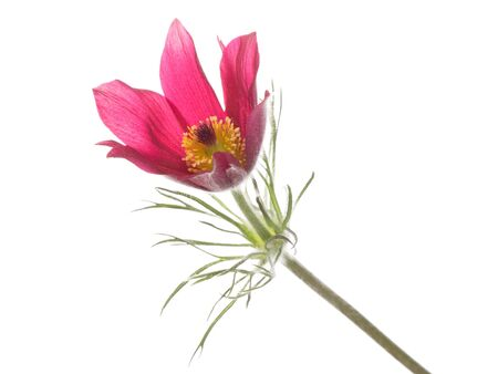 swaying: bright delicate purple flower pulsatilla vulgaris with fluffy myaggkim stem and green leaves on a white background