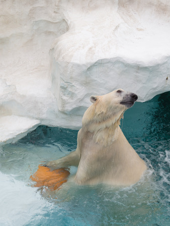 wet bear: smart beautiful wet polar bear playing in an orange ball in the cold, clean clear water