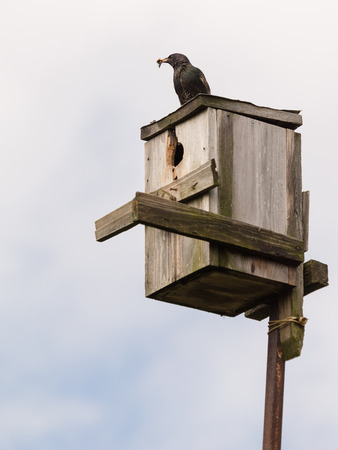 flew: Black starling flew to the birdhouse and holds in a beak of insects to feed their chicks in the spring Stock Photo