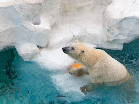 paw smart: smart beautiful wet strong polar bear playing in an orange ball in the cold, clean clear water