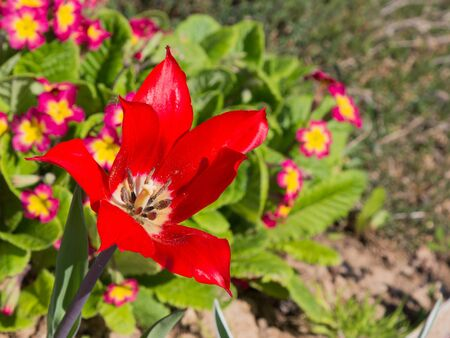 revealed: bright red tulip flower lily varieties revealed in the sun in early spring in the garden