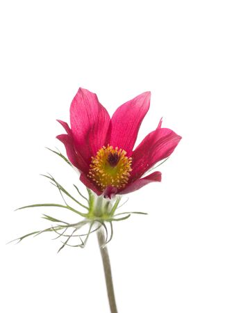 pulsatilla: bright spring beautiful delicate purple flower pulsatilla vulgaris with fluffy myaggkim stem and green leaves on a white background