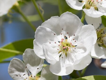 the stamens: white flower pear pink pistils and stamens spring bloomed in the garden