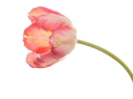 bicolor: bright pink parrot tulip varieties on a thin long green stem isolated on a white horizontal background
