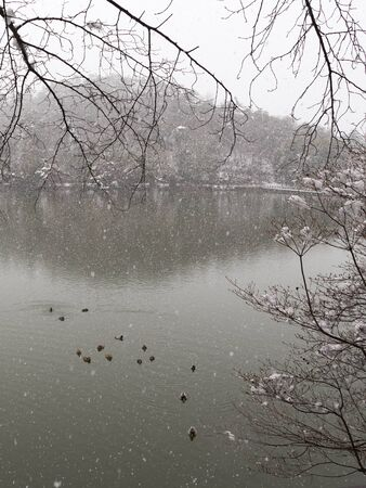 snow falls: white snow falls on the trees during a heavy snowfall on the lake and duck swim Stock Photo