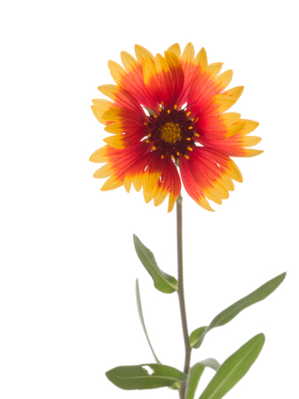 unpretentious: beautiful red and yellow flower Gaillardia isolated on a white background