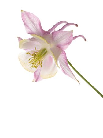 aquilegia: gentle beautiful lilac-pink flower Aquilegia on a white background isolated Stock Photo