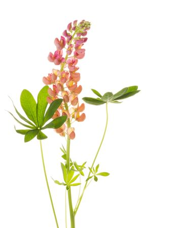 unpretentious: beautiful delicate pink and yellow flower lupine isolated on white background Stock Photo