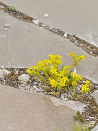 star path: flowers bright yellow stonecrop grow in the crevice between the gray-brown stone old garden path in early summer Stock Photo