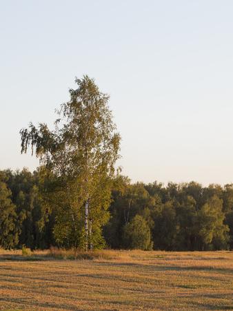 slant: Birch tree with white svol summer slant summer field at sunset