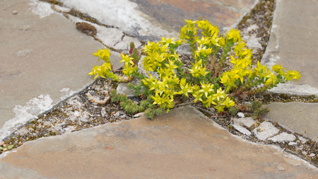 undemanding: beautiful flowers of bright yellow stonecrop grow in the crevice between the gray-brown stone old garden path in early summer