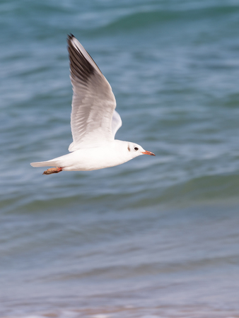 red beak: smart beautiful white and gray seagull with a red beak, flying over the sea