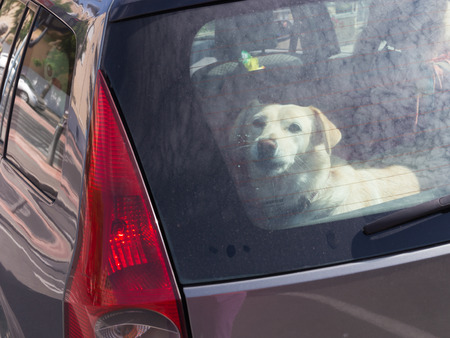 smart beautiful white dog looks kind eyes from behind the dirty glass because it is locked in a black car with red lights