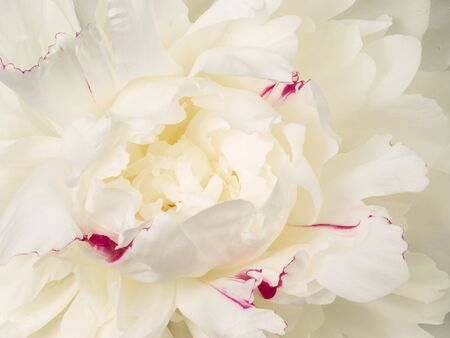 delicate: Center fragrant white beautiful peony flower with delicate petals and delicate crimson streaks