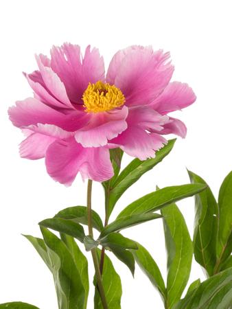 petites fleurs: d�licate fleur de pivoine de jardin rose avec un centre jaune et les feuilles verdoyantes sur un fond blanc isol�