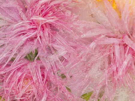 time to shine: Bright abstraction with ice frozen in the ice beautiful bright delicate pink flowers asters and a lot of air bubbles on a green background