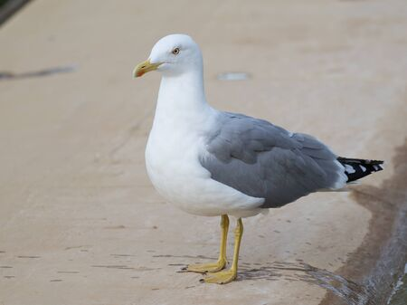 paw smart: smart beautiful bird curious gull wet yellow legs and beak standing on the beige carpet and looks at the street