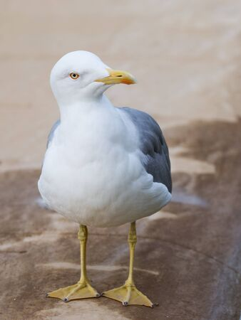 paw smart: smart beautiful bird curious gull with yellow legs and beak standing on the beige carpet and looks at the street Stock Photo