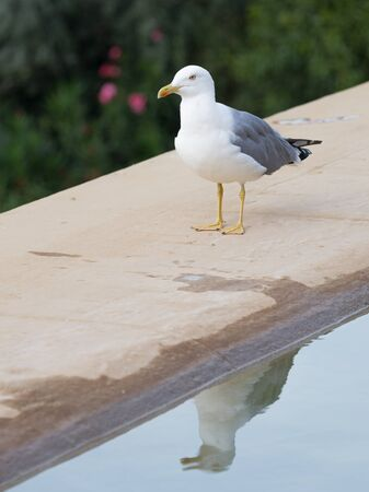 paw smart: smart beautiful bird curious gull wet yellow legs and beak standing on the beige carpet and looks and is reflected in the water of the fountain on the street