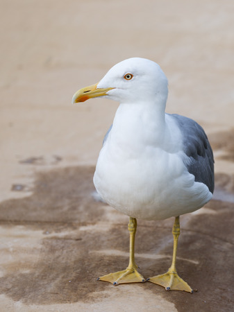 paw smart: smart beautiful bird gull with yellow legs and beak standing on the beige carpet and looks at the street Stock Photo