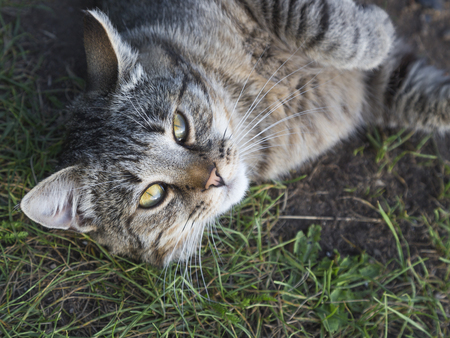 Young smart satisfied pretty funny gray-brown with dark stripes cat lying on the grass and bright green eyes looking at the camera