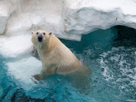 wet bear: smart beautiful wet strong polar bear climbs up on ice floe in clean cold transparent blue water and looking away