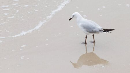 paw smart: smart beautiful bird gull with dark legs and beak to hunt on the beach looking at the sea waves and reflected in the wet sand on the beach Stock Photo