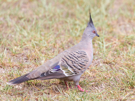 black beak: unusual smart beautiful Australian crested bronzovokryly pigeon with red paws, black beak and a black tuft standing on the lawn on the street
