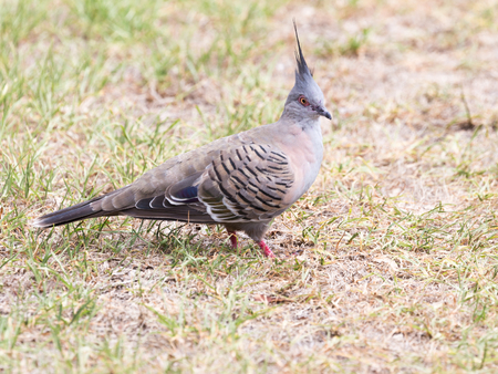 beak: smart beautiful Australian crested pigeon bronzovokryly with red legs and beak standing on a lawn, outdoors Stock Photo