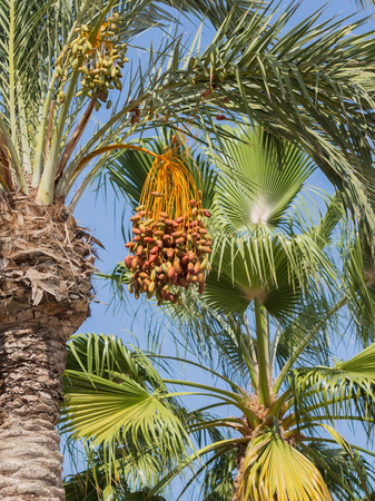 dioecious: High palm tree with delicious ripe sweet figs on blue sky background, vertically, Spain Stock Photo